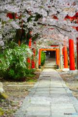 桜舞い散る参道にて