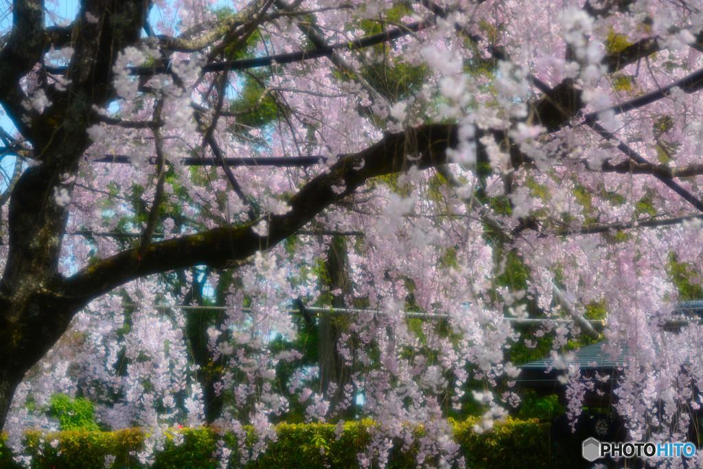 退蔵院の紅しだれ桜