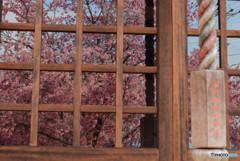 長徳寺のおかめ桜