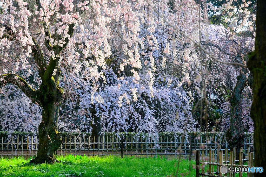 近衛邸跡の糸桜