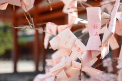 平安神宮も桜が満開です。