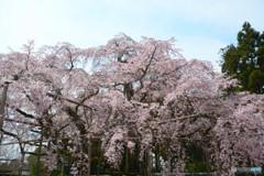 京都の桜は醍醐寺から