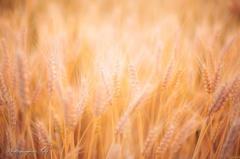 麦のしらべ