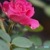薔薇と言えばこのかたち?