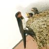 コンデジで野鳥:ツバメ