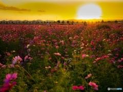 日落ちの花畑