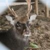 捕獲された野生の馬毛鹿