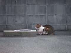 ご近所さんの飼い猫