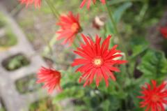 実家の花(3)