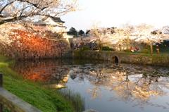 ライトアップ 城跡と桜(1)