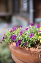 実家の花(1)