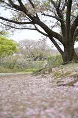 桜の木と散る桜