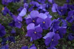平和台陸上競技場 花壇_紫