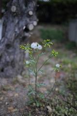 散歩道の野草(タンポポ)