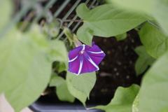 紫朝顔 別アングル
