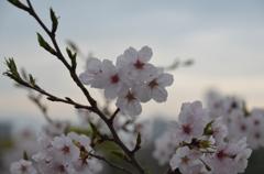 夜明けと桜