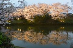 ライトアップした桜