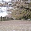 道と散る桜