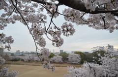 陸上トラックと桜