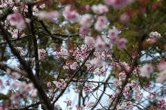 神宮 一足先の春