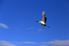 Red-crowned crane @tsurui village