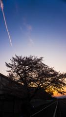 桜と飛行機雲と夕日と