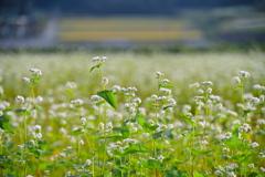 蕎麦畑と田園