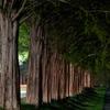 メタセコイヤ並木と遊歩道