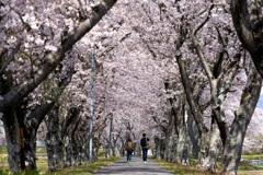桜トンネルの先へ