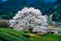 山村の淡墨桜
