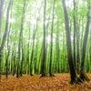 落葉まつ美人の林