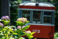 箱根の紫陽花