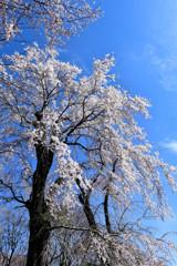 青空に枝垂れ桜