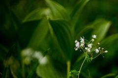 尾瀬の露花
