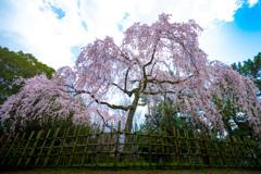 御枝垂れ桜