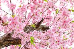 遅れ河津桜