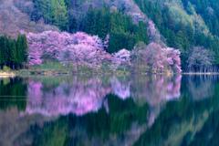中綱湖オオヤマザクラ