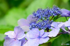 雨中紫陽花1