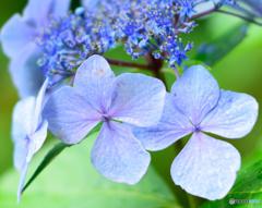 雨中紫陽花2