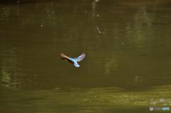 翡翠と蜻蛉の競走