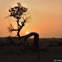 コトカケヤナギに落ちる夕日