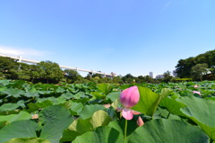 千葉公園蓮池3