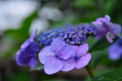 雨中紫陽1