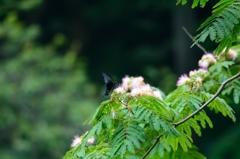 蝶と合歓木
