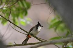 丹霞山の野鳥2
