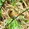 三清山の野鳥1