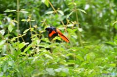 丹霞山の野鳥4