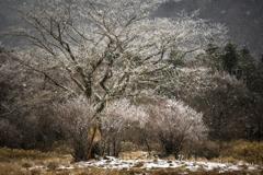 雪の花の咲いた木