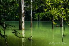 木々の間から見た立ち枯れの湖