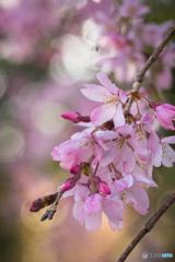 桃色の花2